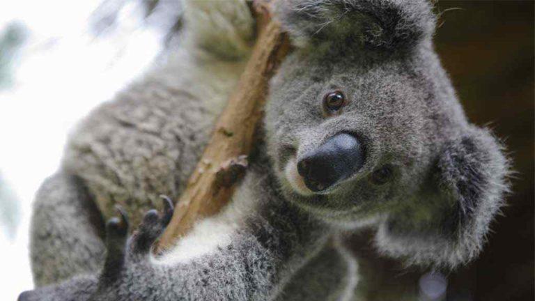 koala que comen los koalas
