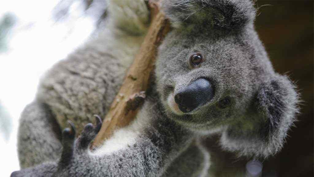 koala que comen