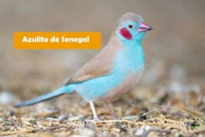 Azulito de Senegal