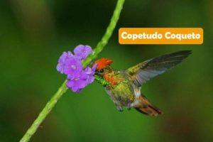 Copetudo Coquette