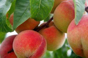 Durasno fruto fresco tropical