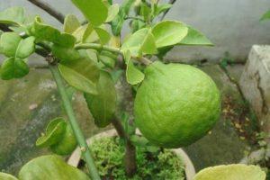 Lima Kaffir fruta rica tropical