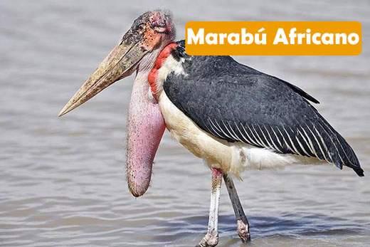 Marabú africano