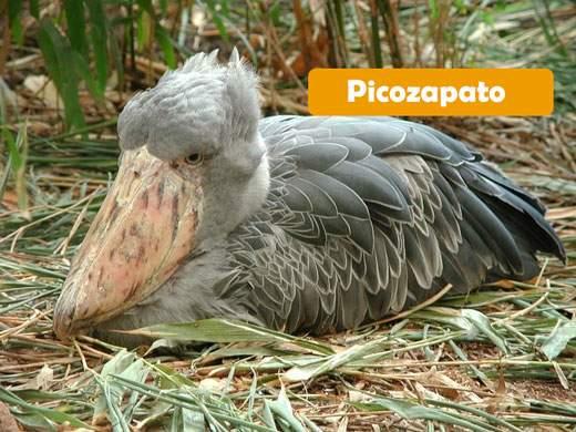 Picozapato