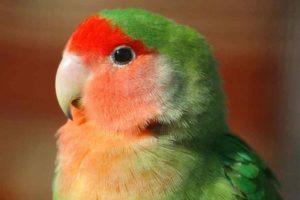 agapornis color rojo con verde