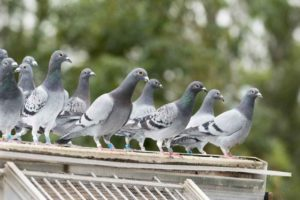 palomas una de las aves exoticas mas curiosas
