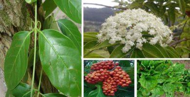 plantas medicinales del peru para niños de primaria