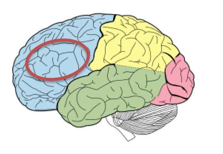 sistema limbico funciones y estructuras