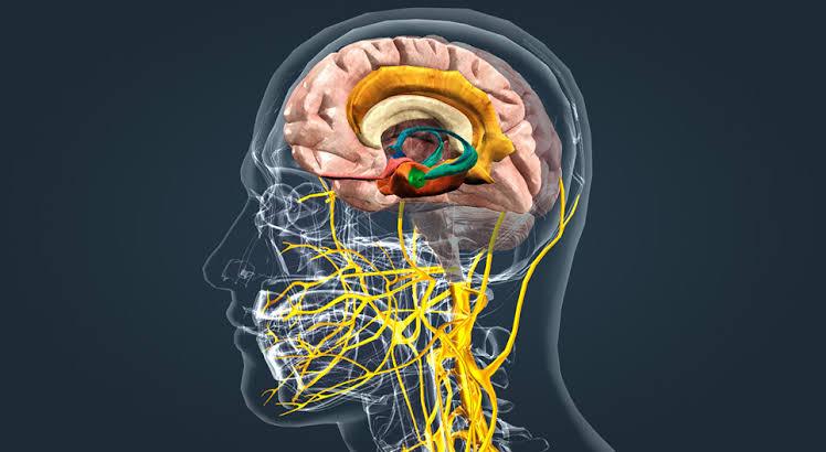 sistema limbico funciones y ubicacion