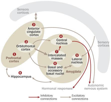 sistema limbico imagen dos