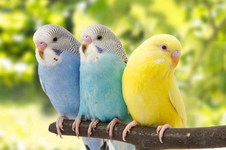 tres lindo periquitos en una rama