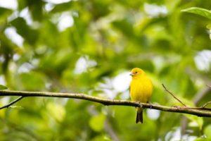 un lindo canario amarillo sobre una rama